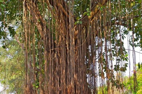 tree  tree giant  nature