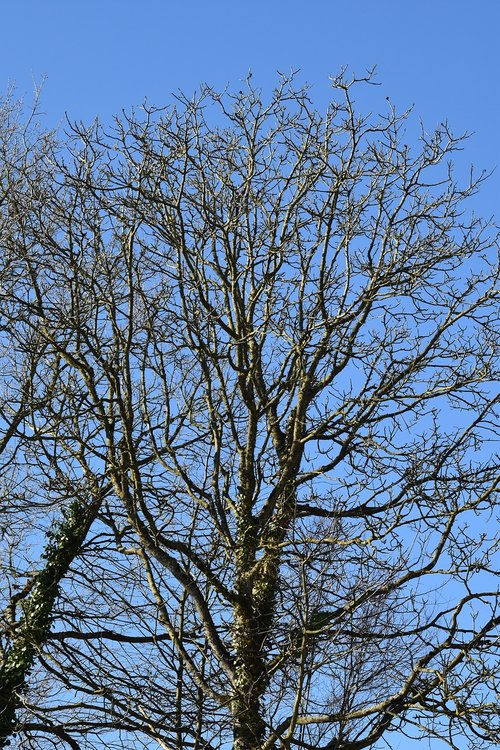 tree  tree without leaves  tree season winter