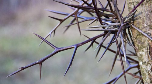 tree  thorn  thorns
