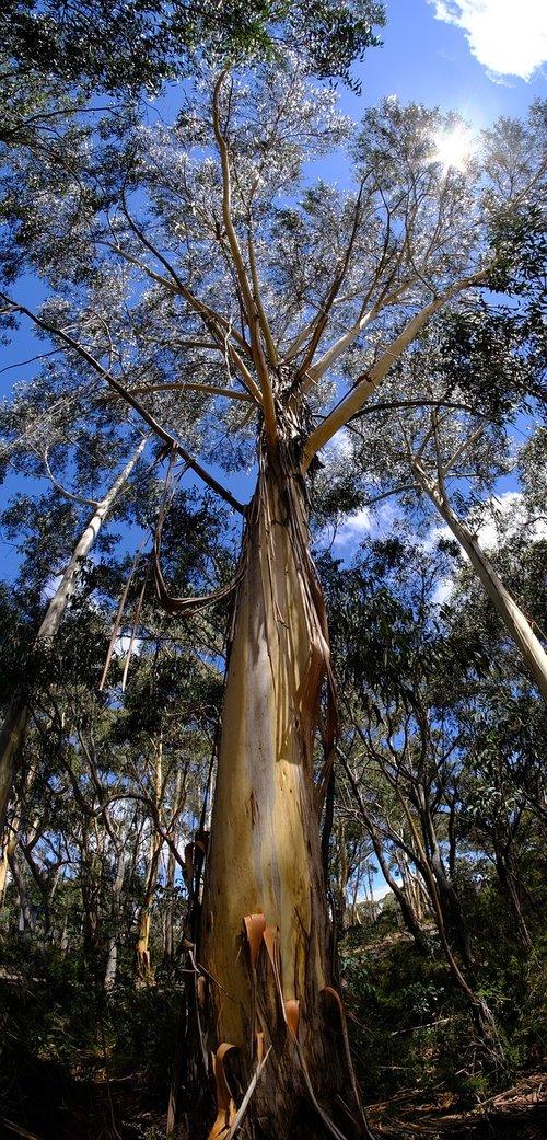tree  eucalyptus tree  eucalyptuses