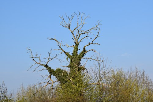 tree  dead tree  tree hugging of ivies
