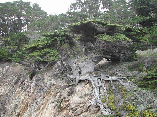 tree monterey coast