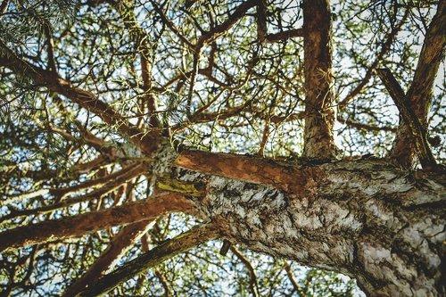 tree  strain  pine