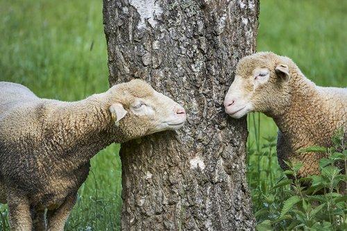 tree  sheep  landscape