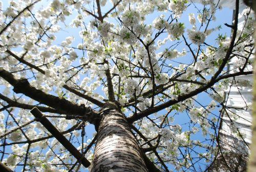 tree flowers spring