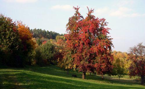 medis,vaisių sodas,išsklaidyti vaismedžiai,gamta,kraštovaizdis,pieva,ruduo,rudens nuotaika,spalvinga,raudona,pietų Vokietijos,baden württemberg,derlius,vaisių rinkimas,vaismedžių pieva,vaisių medžiai,Žemdirbystė,Vokietija