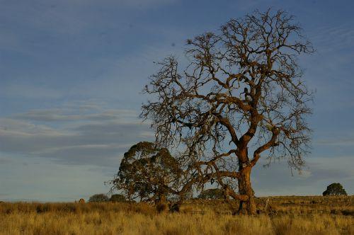 tree outback landscape