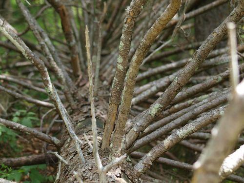 tree spruce conifer
