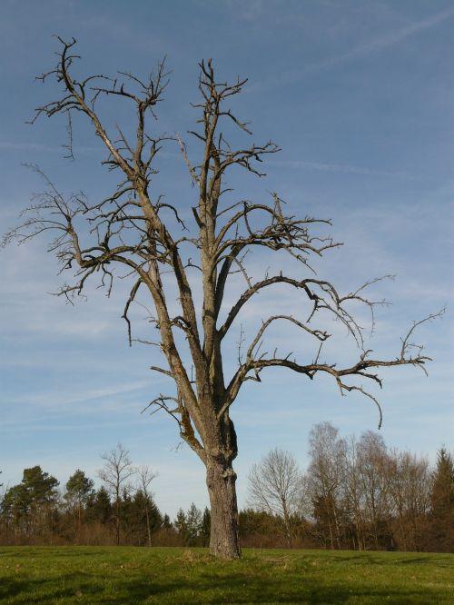 tree dying tree wood