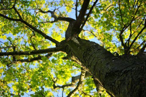 tree crown maple