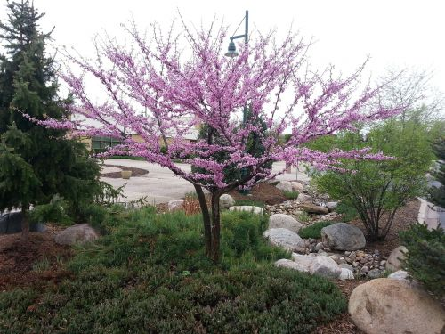 tree flowering spring
