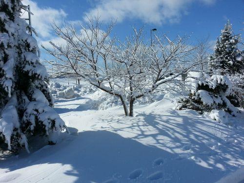 tree winter redbud 'northern clump