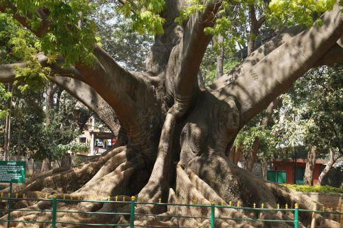 tree 200 years old bangalore