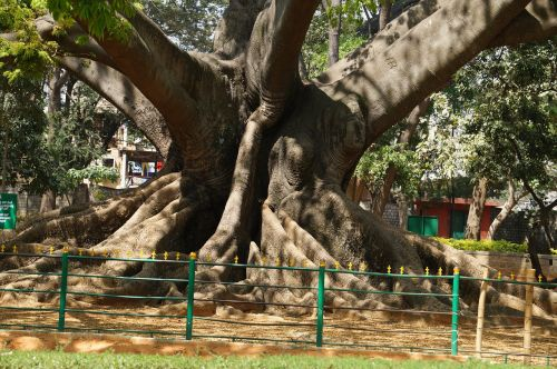 tree 200 years old ancient