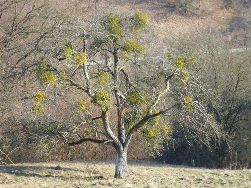 tree autumn mistletoe