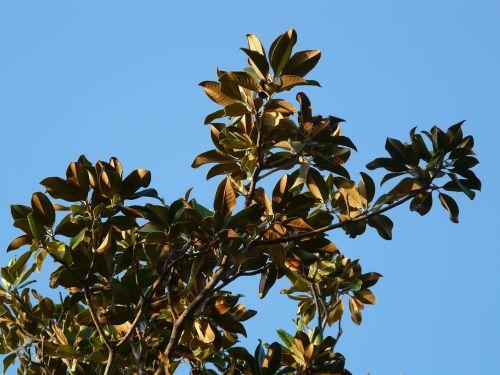 medis,lapai,magnolija,magnolijos lapai,magnoliengewaechs,magnoliaceae
