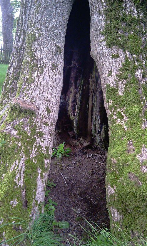 tree hollow nature