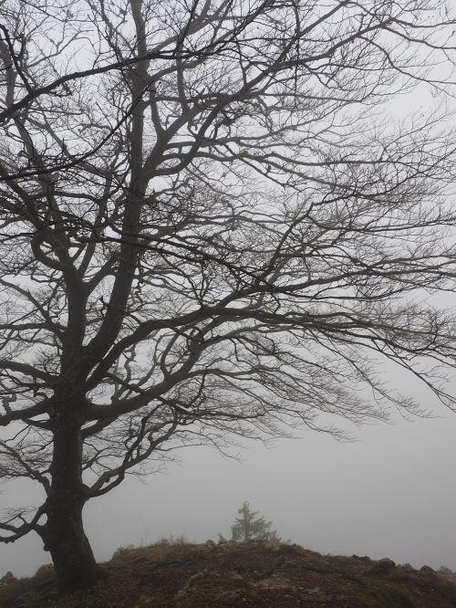 tree beech foggy