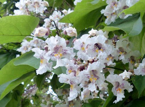 tree catalpa blossom