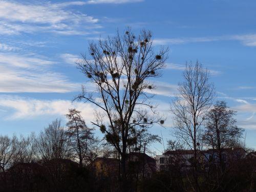 tree poplar white poplar