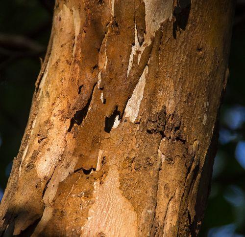 medis, žievė, bagažinė, mediena, ruda, modelis, lupimasis, gumos medis, eukaliptas, gimtoji, australija
