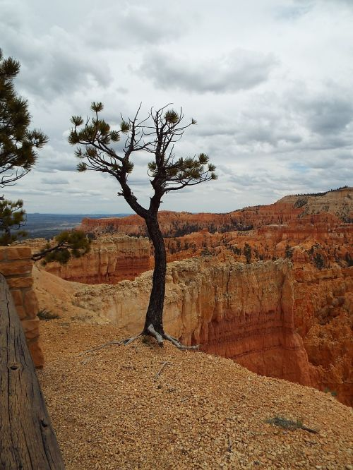 tree bryce canyon utah