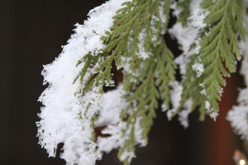 snowflake pine tree