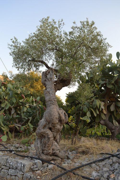 tree olive tree puglia