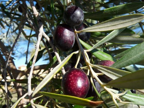 tree fruit olive