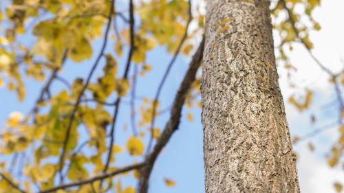 tree leaf leaves