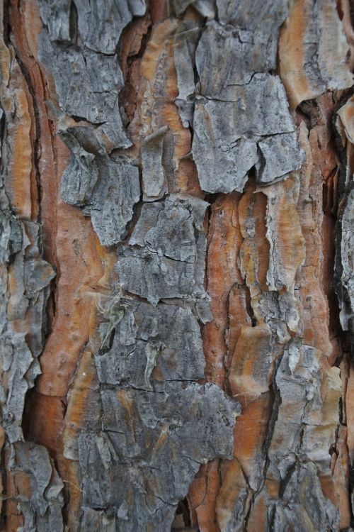 tree spruce abies