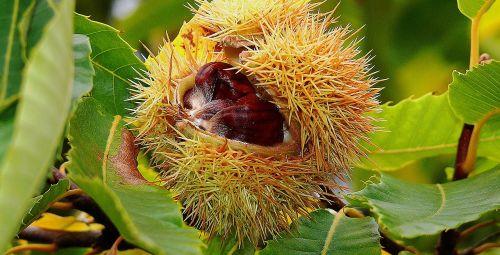 tree chestnut autumn