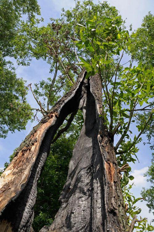 Tree After A Lightning Stroke