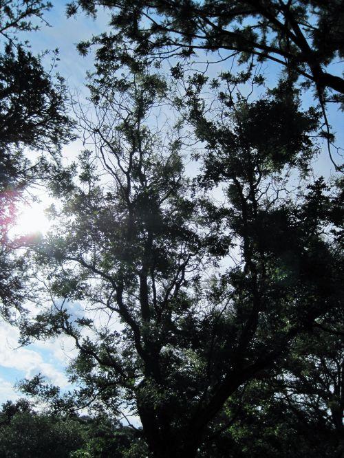 Tree And Sun Penetrating
