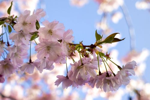 tree blossoms cherry blossoms spring