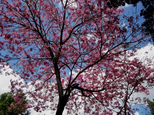 Tree Covered In Pink Blooms