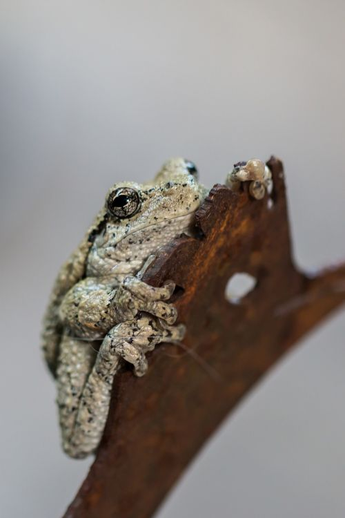 tree frog amphibian nature