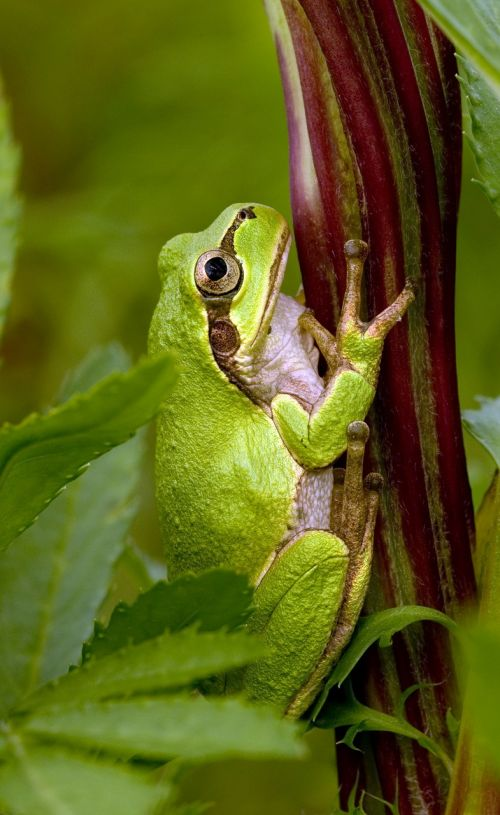 tree frog frog japanese tree frog