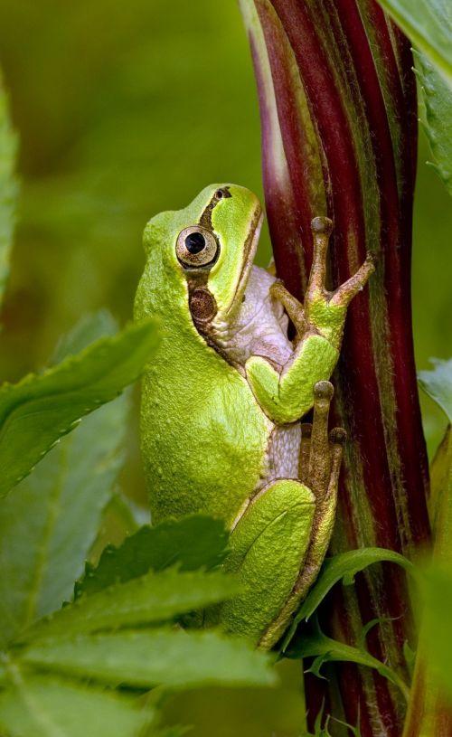 tree frog frog japanese tree frog