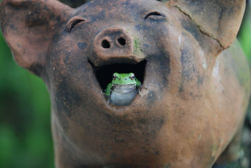 tree frogs pig laughter