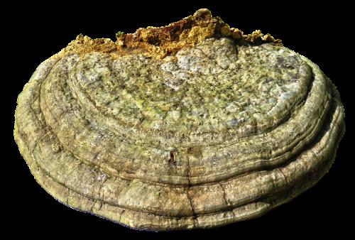 tree fungus mushroom sponge