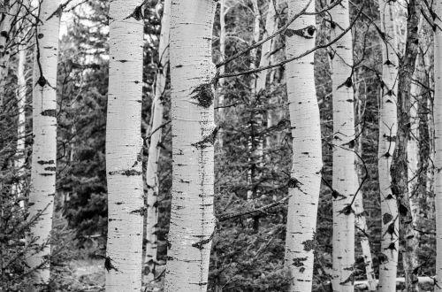 tree grove black and white aspen