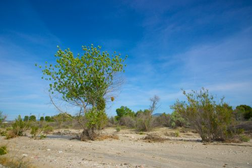 Tree Grows In Dry Wash