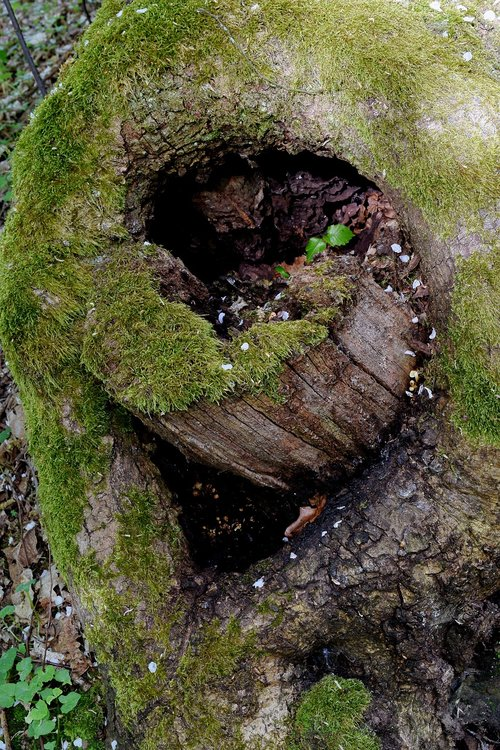 tree hole  sawed off  moss