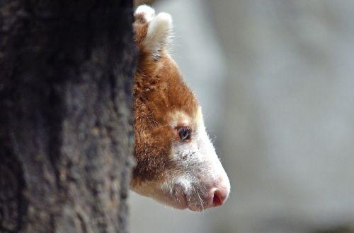 tree-kangaroo oceania dendrolagus