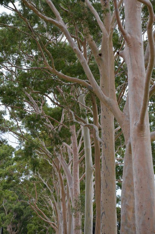 Tree Kings Park