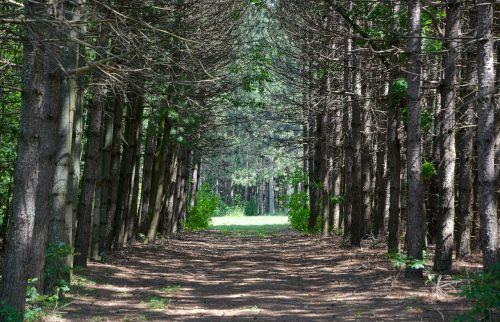 medis išklotas kelias, purvo kelias, miškas, žalias, kelias, vaizdingas