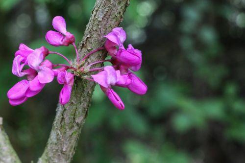 tree of judea pink flowers cercis siliquastrum