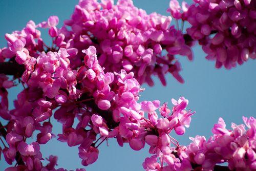 tree of judea cercis siliquastrum pink flowers