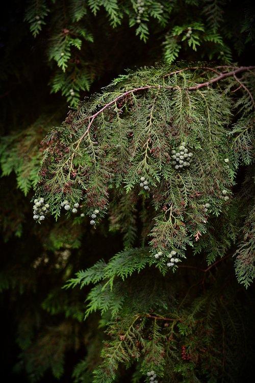 tree of life  cypress under glass  tree